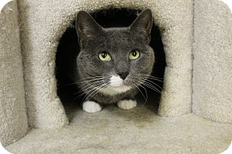 Russian Blue Cat for adoption in levittown, New York - TAMMY