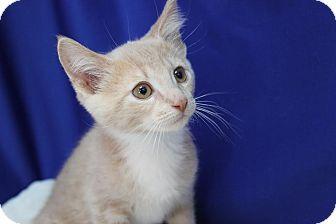 Domestic Shorthair Kitten for adoption in Midland, Michigan - Edsel