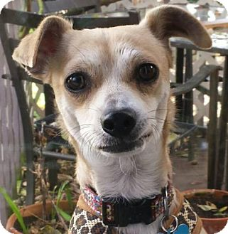 Chihuahua/Terrier (Unknown Type, Medium) Mix Dog for adoption in Portland, Oregon - Maurice