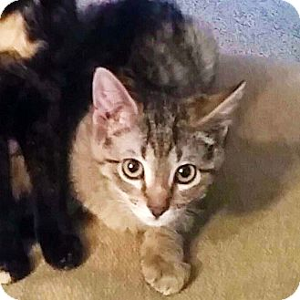 Domestic Shorthair Kitten for adoption in Lombard, Illinois - Tito