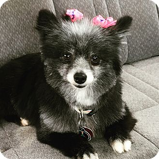 Pomeranian Dog for adoption in Norman, Oklahoma - Boots