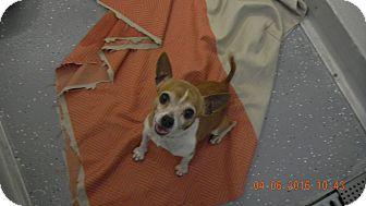 Chihuahua Mix Dog for adoption in Sandusky, Ohio - ELMER