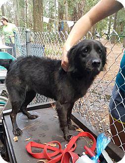 Flat-Coated Retriever Mix Dog for adoption in Savannah, Georgia - Nikki 2