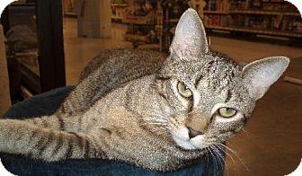 Domestic Shorthair Cat for adoption in Melrose, Florida - Harold