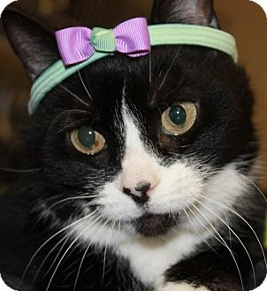 Domestic Shorthair Cat for adoption in Clayton, New Jersey - MEADOWS