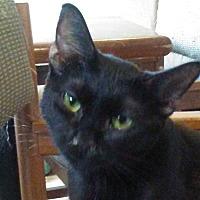 Domestic Shorthair Cat for adoption in Marion, North Carolina - Deva