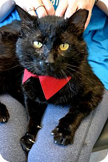 Domestic Shorthair Cat for adoption in Plano, Texas - WARTHOG - HAS INNER BEAUTY!
