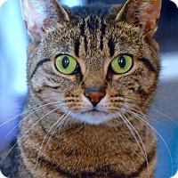Adopt A Pet :: Miss Green Eyes - Brooklyn, NY