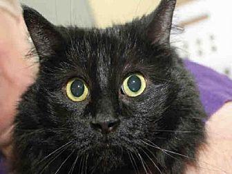 Domestic Mediumhair Cat for adoption in Pittsburgh, Pennsylvania - FUZZY