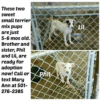 Jack Russell Terrier/Rat Terrier Mix Puppy for adoption in Malvern, Arkansas - PHIL & LIL- TOGETHER OR SEP