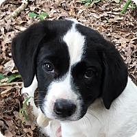 Adopt A Pet :: Diamond - no longer accepting - Manchester, NH