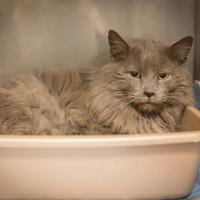 Domestic Longhair/Domestic Shorthair Mix Cat for adoption in Madionsville, Kentucky - Gucci