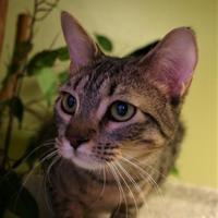 Adopt A Pet :: Tortellini - Hastings, NE