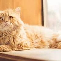 Adopt A Pet :: Louis - Ennis, TX