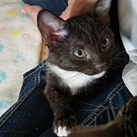 Adopt A Pet :: Brie - Duluth, GA