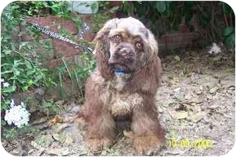 Cocker Spaniel Puppy for adoption in Sugarland, Texas - Snickers