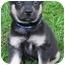 Photo 1 - Collie Mix Puppy for adoption in Mt. Prospect, Illinois - Strudel