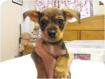 Chihuahua/Terrier (Unknown Type, Small) Mix Puppy for adoption in Wilminton, Delaware - Donnie