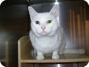 Domestic Shorthair Cat for adoption in Cincinnati, Ohio - Pearl