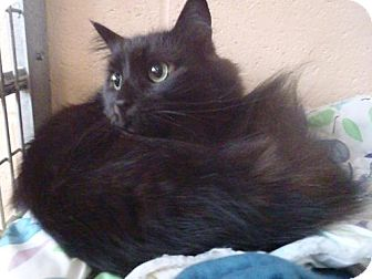 Domestic Longhair Cat for adoption in New Milford, Connecticut - Maximus