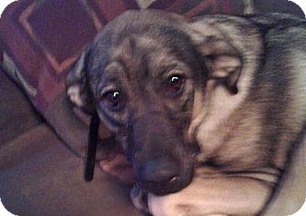 Retriever (Unknown Type)/Australian Shepherd Mix Dog for adoption in Elyria, Ohio - Shelby-Prison Dog