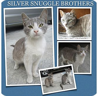 Domestic Shorthair Cat for adoption in Los Angeles, California - Sparkles and Dorian