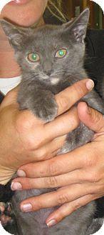 Russian Blue Kitten for adoption in Randolph, New Jersey - Suzie & Shirley