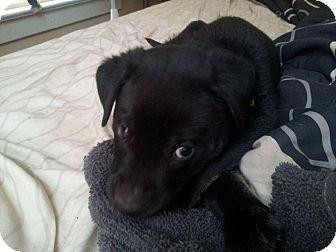 German Shepherd Dog/Labrador Retriever Mix Puppy for adoption in waterbury, Connecticut - Carson