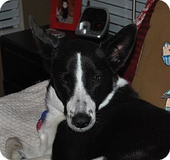 Border Collie Mix Dog for adoption in Austin, Texas - Bailey