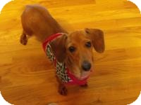 Dachshund Dog for adoption in Taylor Mill, Kentucky - Needle Nose aka Lily