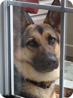 German Shepherd Dog Mix Dog for adoption in Philadelphia, Pennsylvania - Joshua