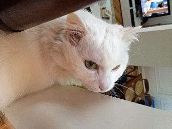 Maine Coon Cat for adoption in Brooklyn, New York - Unusual White Maine Coon Mix Pigean