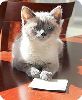 Domestic Shorthair Kitten for adoption in Huntsville, Alabama - Pippa