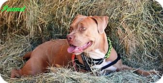 American Staffordshire Terrier Mix Dog for adoption in Lompoc, California - Peanut