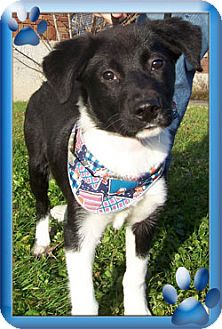 Border Collie Puppy for adoption in Kirkland, Quebec - Kirby