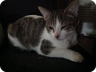 Domestic Shorthair Cat for adoption in Tracy, California - Scott