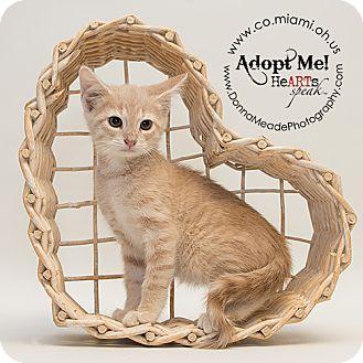 Domestic Shorthair Kitten for adoption in Troy, Ohio - Barney
