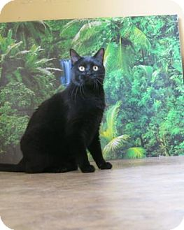 Domestic Shorthair Cat for adoption in Buena Vista, Colorado - Sherion