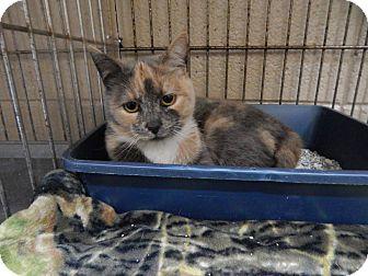 Domestic Shorthair Cat for adoption in Henderson, North Carolina - Jody
