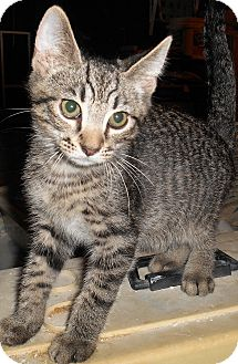 Domestic Shorthair Kitten for adoption in Chattanooga, Tennessee - Emmet