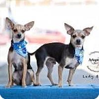 Adopt A Pet :: Lady - Shawnee Mission, KS