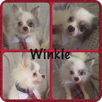 Pomeranian Mix Dog for adoption in ST LOUIS, Missouri - Winkle