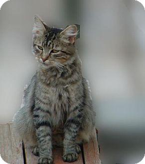 Domestic Mediumhair Cat for adoption in Walnut Creek, California - Kitty Girl