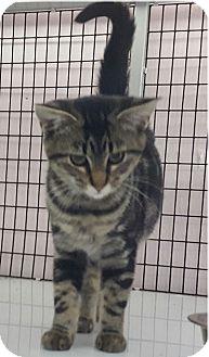 Domestic Shorthair Kitten for adoption in Maryville, Illinois - Kit Kat