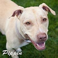 Adopt A Pet :: Pippin - San Diego, CA