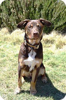 Doberman Pinscher/Labrador Retriever Mix Puppy for adoption in Denver, Colorado - Referral - Bailey in NM