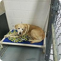 Adopt A Pet :: Kodi - Buckeystown, MD