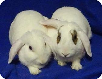 Lop-Eared Mix for adoption in Woburn, Massachusetts - Petra