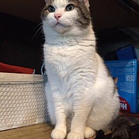 American Shorthair Cat for adoption in Independence, Kentucky - Patches