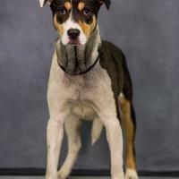 Adopt A Pet :: Fiji - Fairfax Station, VA